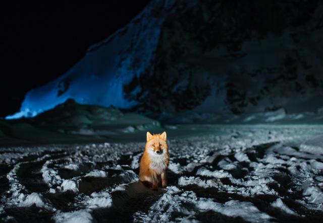 , 'Red Fox at Night,' 2017, Richard Heller Gallery