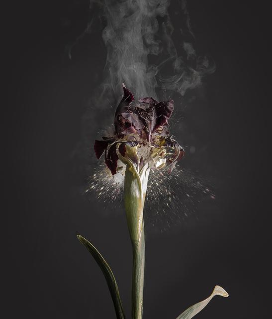 Ori Gersht, 'Iris atropurpurea D01', 2018, Photography, Archival pigment print, Talley Dunn Gallery