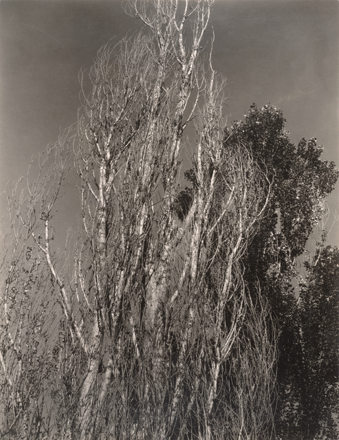 Alfred Stieglitz, 'Poplars—Lake George', 1932, Photography, Gelatin silver print, San Francisco Museum of Modern Art (SFMOMA)