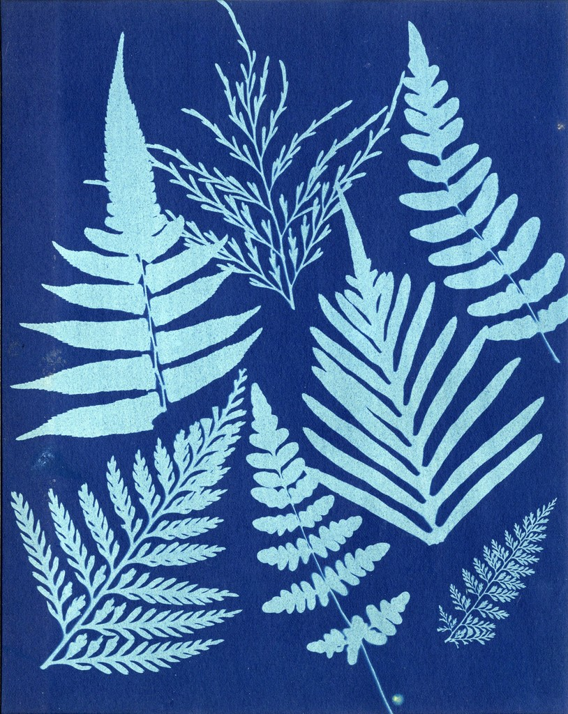 Anonymous. Ferns, 1850s, cyanotype print, 8 5/8 X 6 7/8 inches. Collection of Michael Mattis and Judy Hochberg.