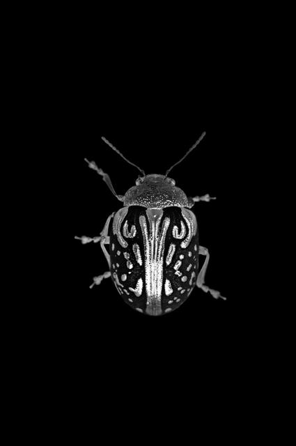 """, 'Jewel Beetle - """"Obscure Object Of Desire"""",' 2010, Macaya Gallery"""