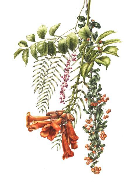 , 'Pendulous mixed flowers (Campsis, Schumis, Pyracantha),' , Jacaranda Images