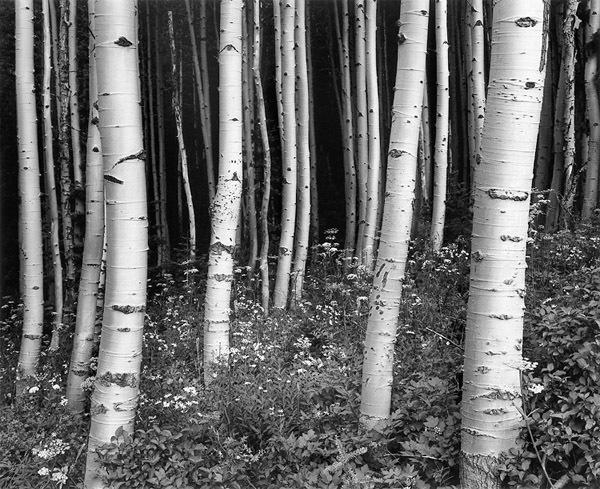 , 'Aspens at Dusk, Targhee National Forest,' 1994, Robert Mann Gallery