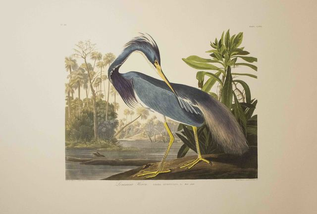 John James Audubon, 'Louisiana Heron, Edition Pl. 217', ca. 1999, The Munn Collection