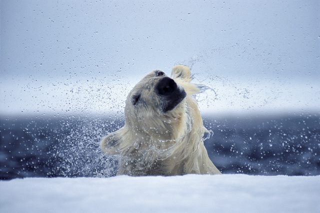 , 'Emerging,' , Paul Nicklen Gallery