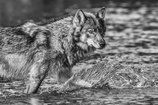 , 'Sea Wolf of the Great Bear ,' , Paul Nicklen Gallery