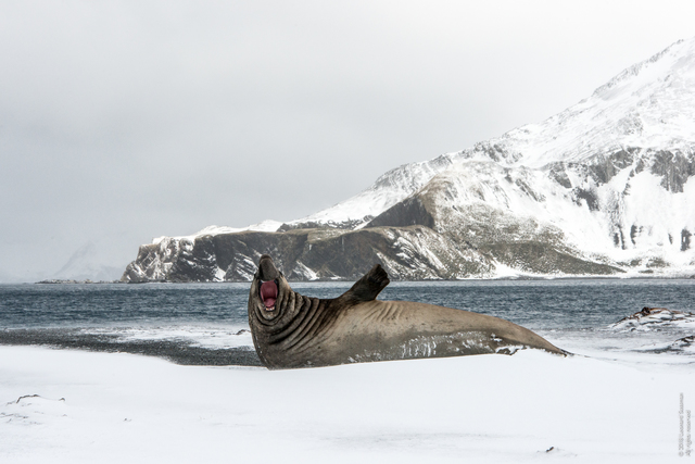 Leonard Sussman, 'Elephant Seal Barking, Right Whale Bay, South Georgia Islands', 2018, Garvey | Simon