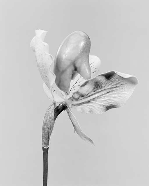 , 'The Alphabet of New Plants, Cypripedium calceolus/ Gelber Frauenschuh,' 2014, Walter Storms Galerie