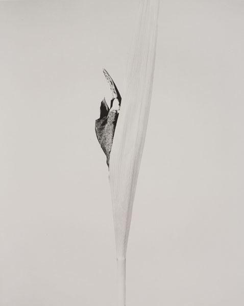 , 'SERIE HERBARIUM, 1982 - 1985 CORNUS IMPATIENS,' 1985, espaivisor - Galería Visor