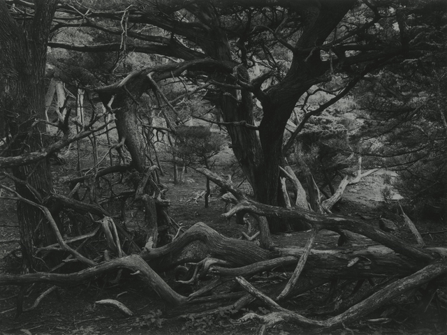 , 'Point Lobos Forest,' 1951, Photography West Gallery