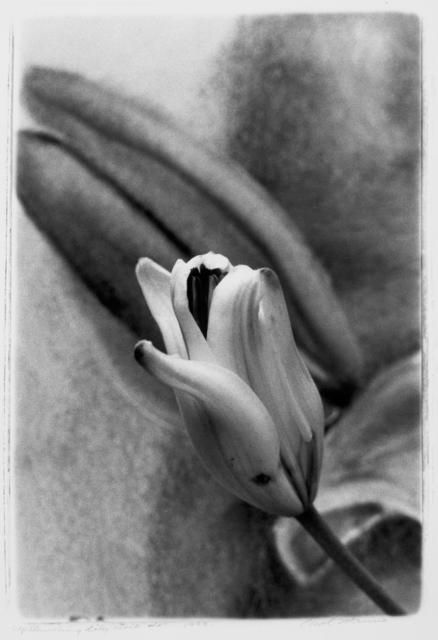 Carol Marino, 'Upstanding Lily Duo #2', 1999, Photography, Gelatin silver print, toned, Corkin Gallery
