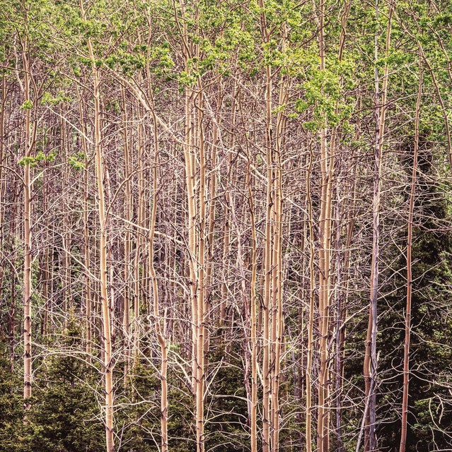 , 'Radiant Aspens, Alaska,' 2017, Photography West Gallery