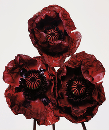 Three Poppies, Arab Chief, New York