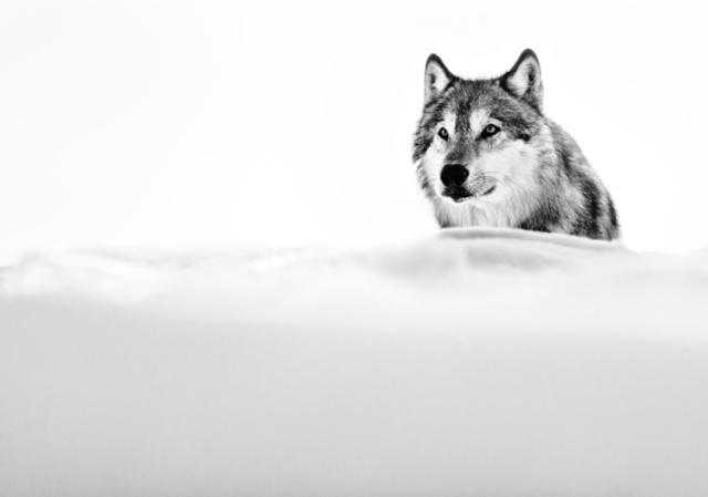 David Yarrow, 'The Focused Wolf', 2015, Isabella Garrucho Fine Art