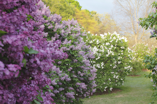 , 'Lilacs Before the Storm, Arnold Arboretum,' 2015, Gallery NAGA