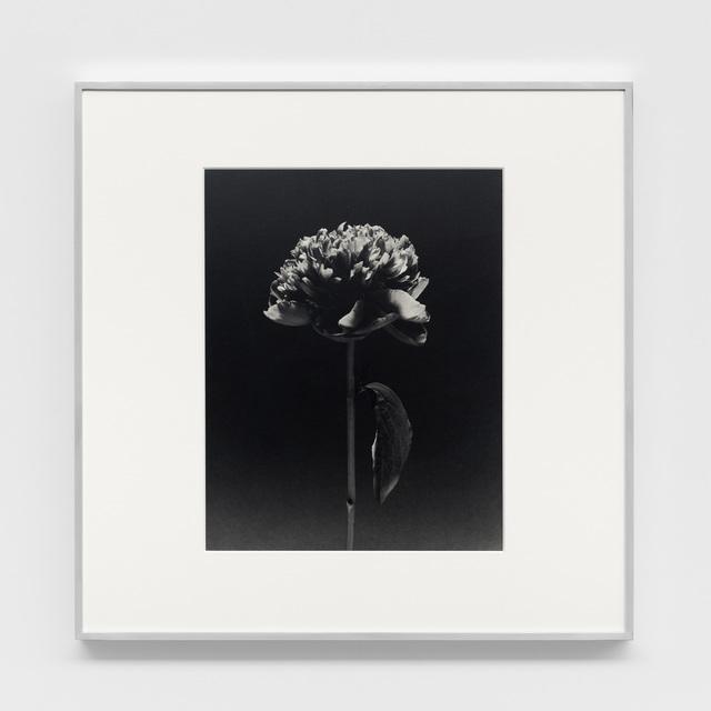 Robert Mapplethorpe, 'Flower', 1984, Xavier Hufkens