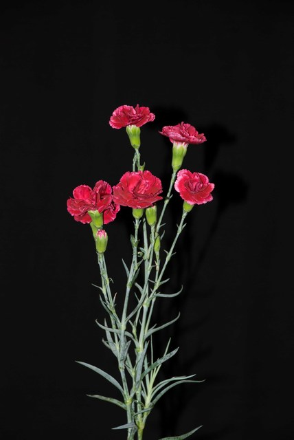 , 'Deep red Mini Carnations / Tuesday, March 25, 2008 / Tehran / Islamic Republic of Iran,' 2017, narrative projects