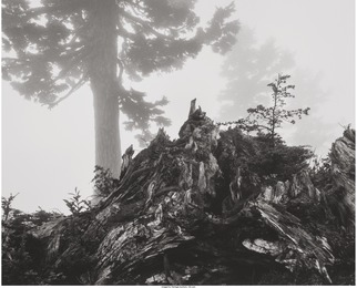 Tree, Stump and Mist, Northern Cascades, Washington, from Portfolio VII