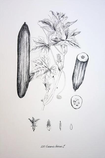 , 'Cucumis sativus,' 2016, Lucia Mendoza