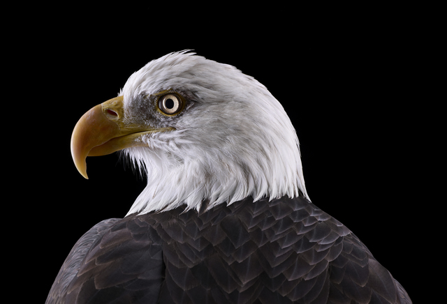 Brad Wilson, 'Bald Eagle #1, Espanola, NM', 2011, photo-eye Gallery