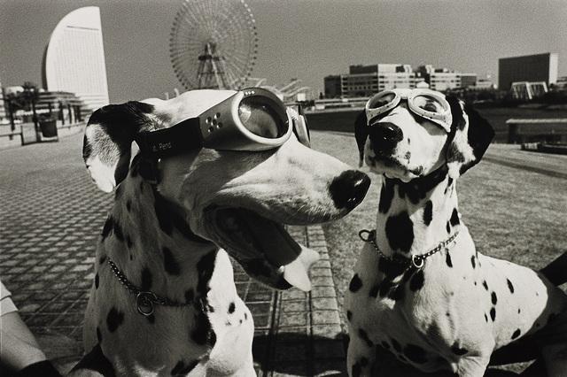 Elliott Erwitt, 'Yokohama, Japan (2 dogs in goggles)', 2003, Phillips