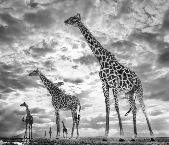 David Yarrow, 'Keeping Up with the Crouches, Amboseli, Kenya', 2019, Photography, Archival Pigment Photograph, Holden Luntz Gallery