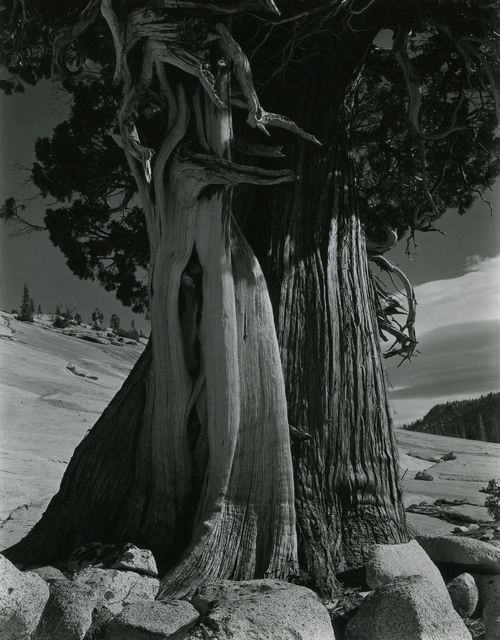 Edward Weston, 'Juniper/Tenaya Lake', 1937, Michael Dawson Gallery