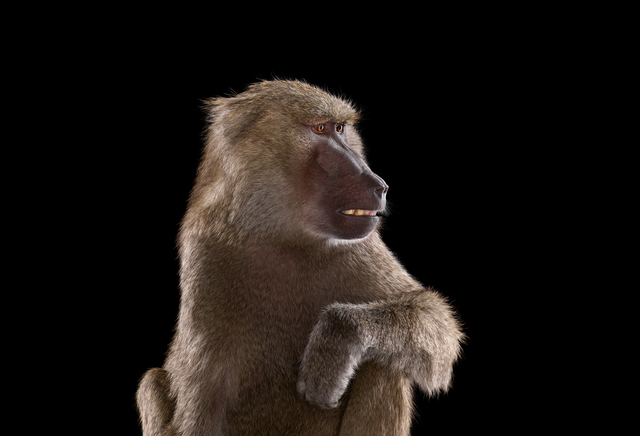 , 'Baboon #3, Los Angeles, CA,' 2011, photo-eye Gallery