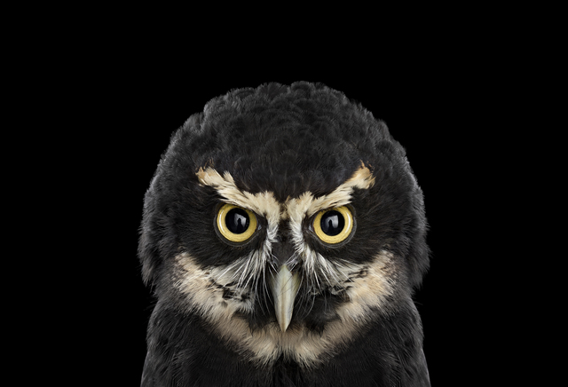 Brad Wilson, 'Spectacled Owl #1, St. Louis, MO', 2012, photo-eye Gallery