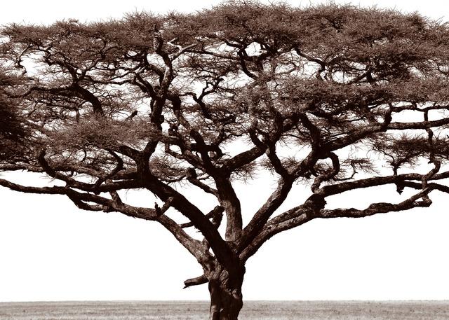 , 'Serengeti Tree #1,' 2014, Cross Mackenzie Gallery