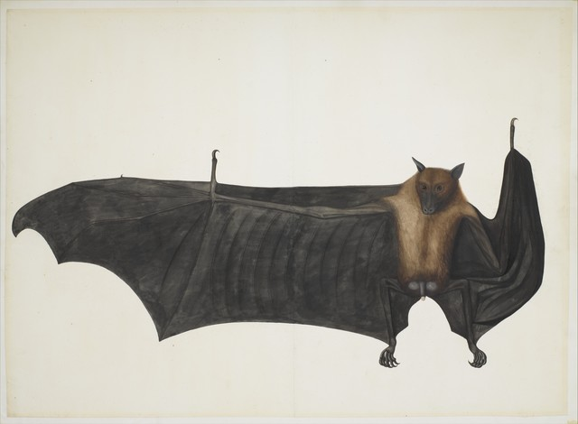 Attributed to Bhawani Das, 'Great Indian Fruit Bat', ca. 1777–1782, The Metropolitan Museum of Art