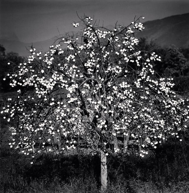 Michael Kenna, 'Persimmon Tree, Sulmona, Abruzzo, Italy', 2015, Photography, Silver Gelatin Print, Weston Gallery