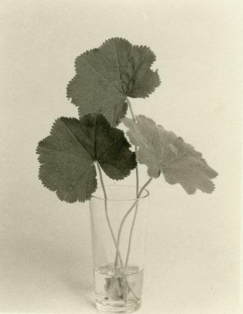 , 'Three Lady's Mantle Leaves,' 1998, John Davis Gallery