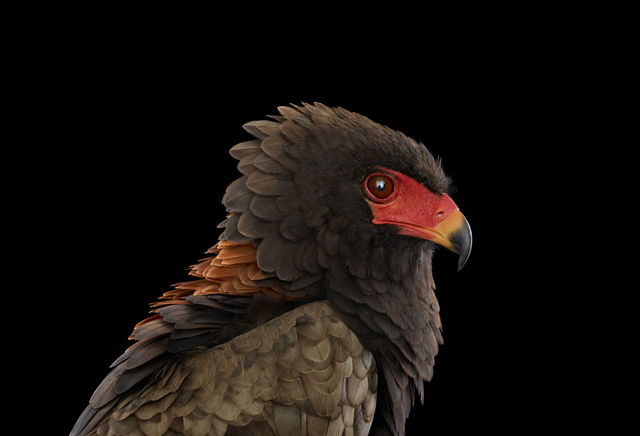 Brad Wilson, 'Bateleur Eagle #1, St. Louis, MO', 2012, photo-eye Gallery