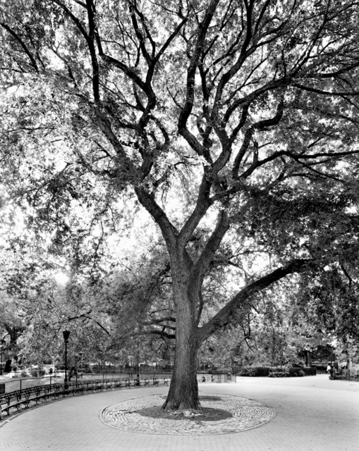 , 'American Elm, Tompkins Square Park, New York, from the series New York Arbor,' 2012, Yancey Richardson Gallery