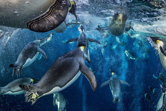 , 'Emperor Express,' , Paul Nicklen Gallery