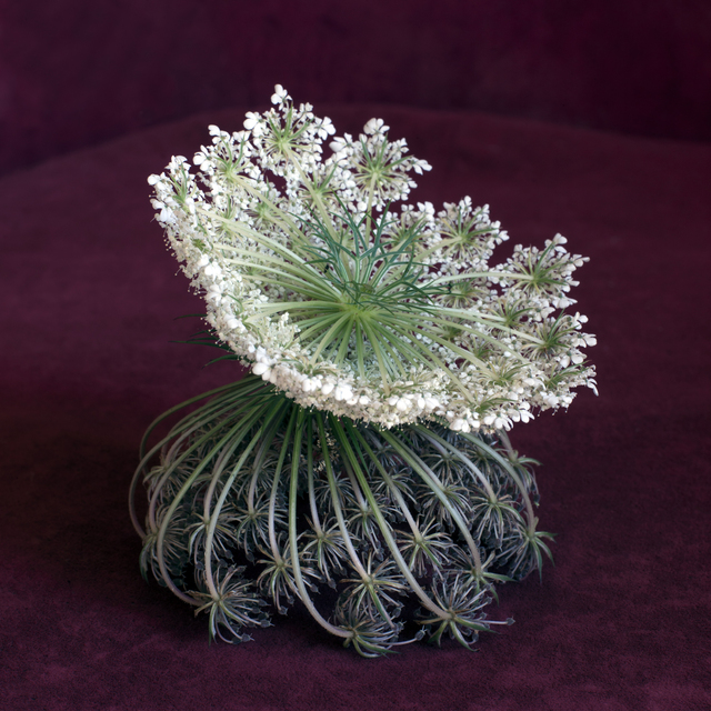 , 'Wild Flower Arrangement No. 6 (Daucus Carota),' 2015, KLOMPCHING GALLERY