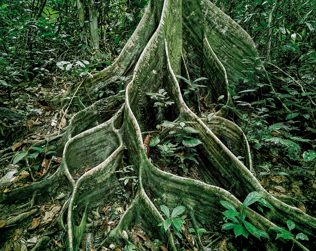 , 'Primary Forest 18, Roots, Malaysia 10/2012,' 2012, ClampArt