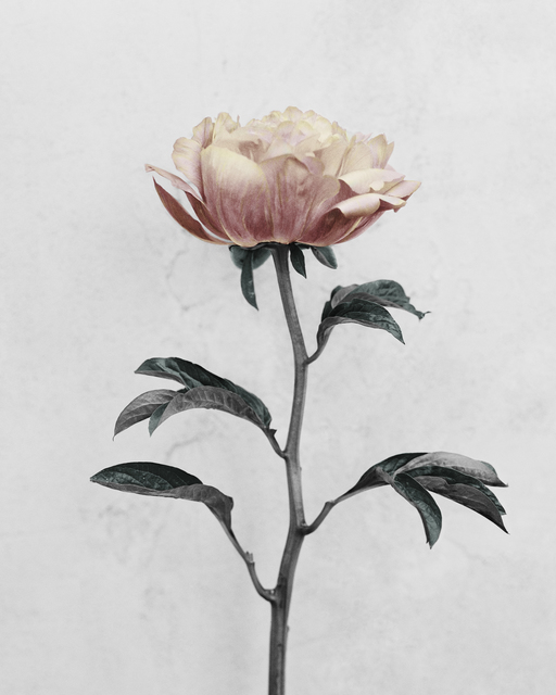 , 'Paeonia,' 2016, The Photographers' Gallery