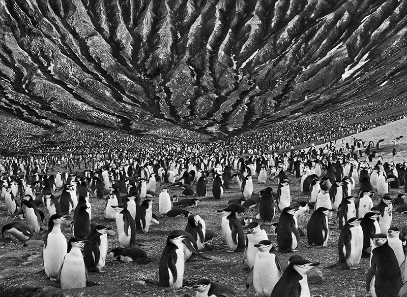 Colony of Chinstrap and Macaroni Penguins with Mount Michael an Active Volcano Behind, Saunders Island, South Sandwich Island
