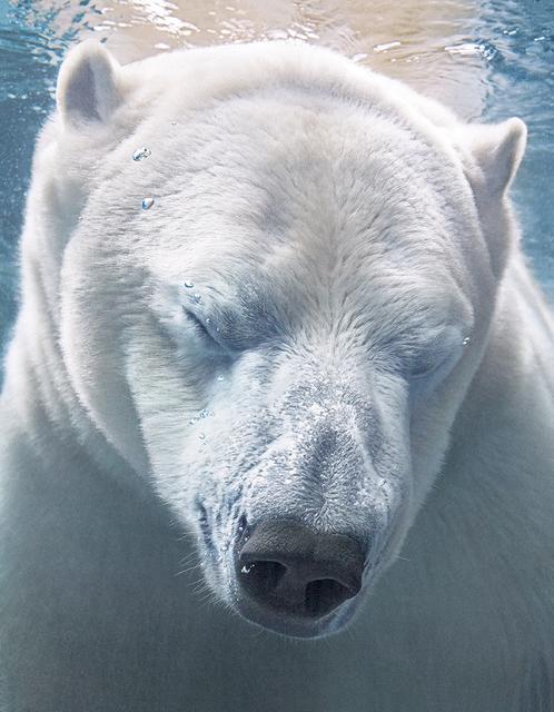 , 'Polar Bear Portrait,' 2017, Osborne Samuel