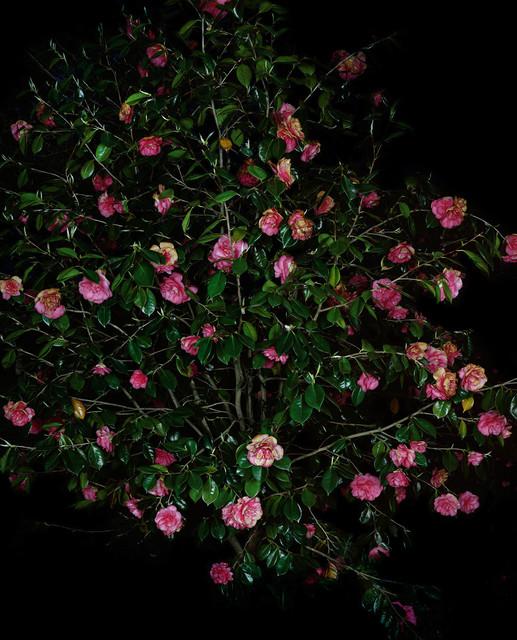 , 'Camellia Japonica (Pink) (I),' 2018, Anton Kern Gallery