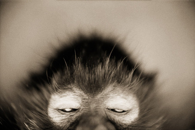 Henry Horenstein, 'White-cheeked Spider Monkey (Ateles marginatus)', ca. 1995-2001, ClampArt