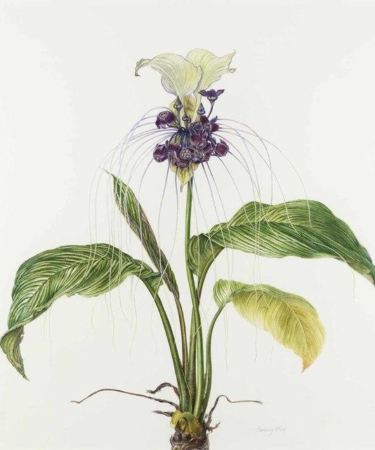 , 'White bat flower – 'Tacca integrifolia',' 2018, Jonathan Cooper