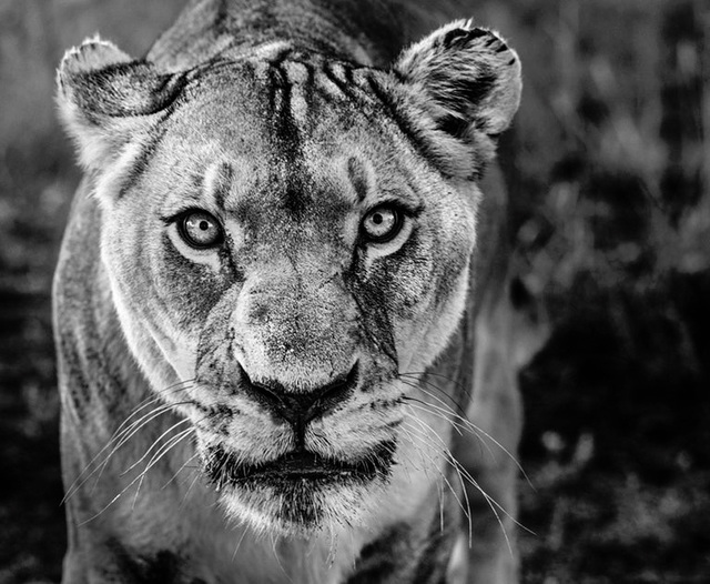 David Yarrow, 'NALA', 2019, Hilton Asmus