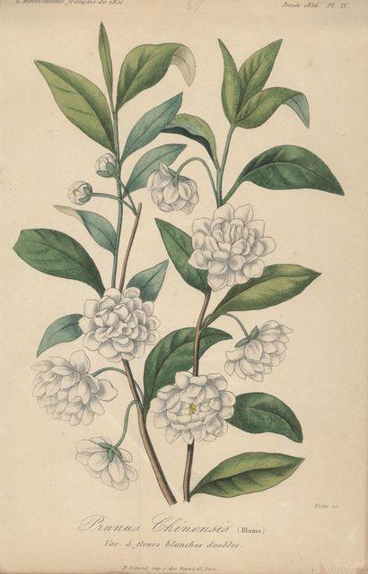 Francois Herincq, 'Prunus Chinensis (Blume), Var a fleurs blanches doubles', ca. 1860, ArtWise