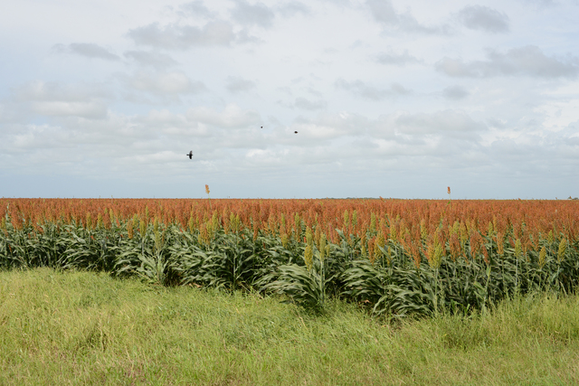 , 'South Texas: Sorghum Field with Blackbirds near Falfurrias,' 2015, PDNB Gallery