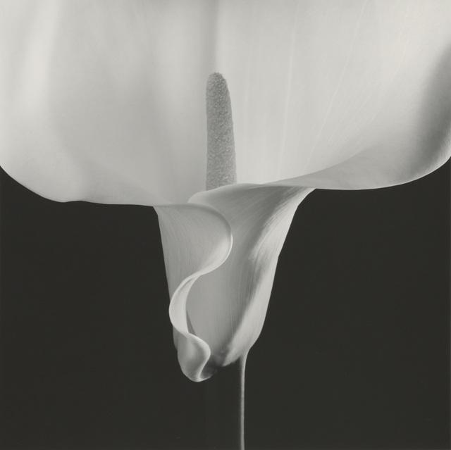 , 'Calla Lily,' 1988, Montreal Museum of Fine Arts