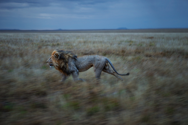 , 'After appearing cautious amongst the Vumbi pride, resident male Hildur inexplicably began to run, and continued to run for five miles. He was running to his other pride where we found him consorting with an estrus female the next day. Serengeti National Park, Tanzania.,' 2012, Anastasia Photo