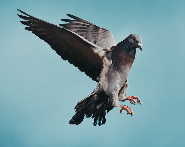 Roe Ethridge, 'Pigeon', 2002, Phillips